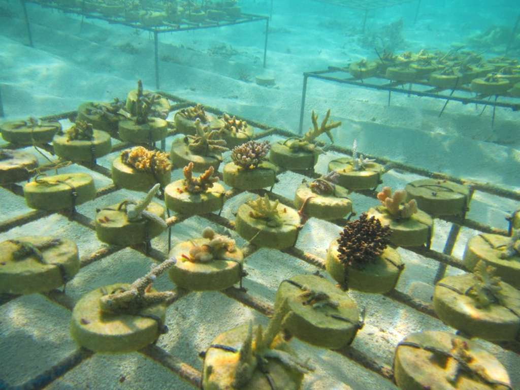 Centara-Grand-Island-Resort-Spa-Maldives-coral-farm